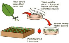 Artificial cloning: Tissue culture in plants