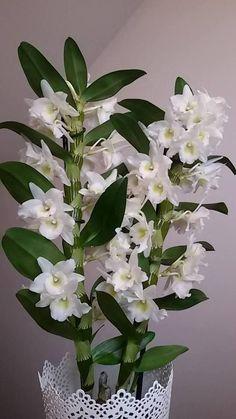 Best 12 Hydrogen peroxide the best fertilizer for orchids Strange Flowers, Exotic Flowers, Pretty Flowers, Rare Orchids, White Orchids, White Flowers, Dendrobium Nobile, Orquideas Cymbidium, Orchids Garden