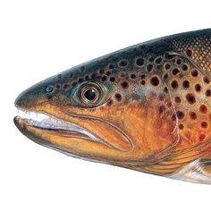 Brown Trout. Illustrated and © by Joseph R. Tomelleri.