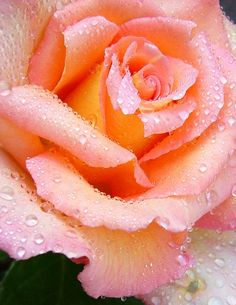 Rose 'Elle' by Shirley