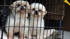 USDA cracks down on online puppy mills #pets #dogs #cats #animals