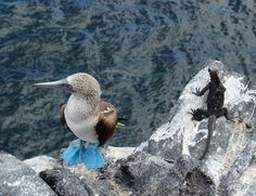 Galapagos Blue-footed Boobies (Sula nebouxii) Another of our 2014 Best of Science360 Radio podcasts is a SciWorks feature about why this species has stopped reproducing. Listen here: National Science...