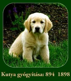 Golden Retriever dogs and puppies: Golden Retriever puppies Dogs Golden Retriever, Retriever Puppy, Dogs And Puppies, Mandala, Destiny, Health, Animals, Squirrels, Animales