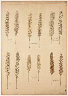 Soorten van tarwe