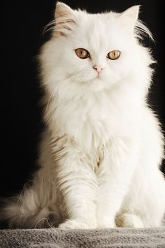 White adorable kitty cat