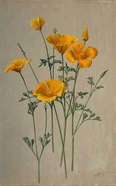 California Golden Poppy