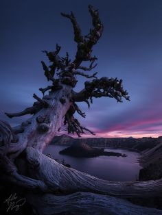 Ancient tree on Oregon's Crater Lake by Alex Noriega