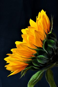 Flores my favorite flower Happy Flowers, My Flower, Beautiful Flowers, Sun Flowers, Sunflower Flower, Yellow Sunflower, Exotic Flowers, Simply Beautiful, Sunflowers And Daisies
