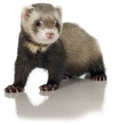 Awww I miss having a pet ferret!!!! I WILL have another one someday, they make great pets <3