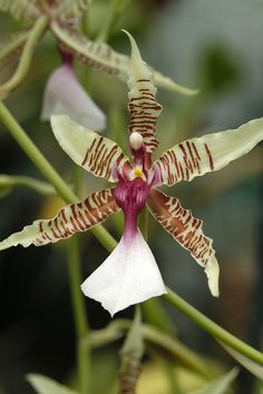 Oncidium hastilabium