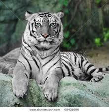 Take a picture with a white tiger