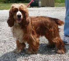 Winston-neutered is an adoptable Cocker Spaniel Dog in Frankfort, IN. Hey! My name is Winston. I am a Cocker Spaniel who is going to need a very special home. I only make up with certain people. It ta...