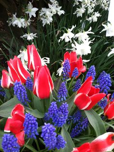 Red tulips, white dafodills and blue lupine