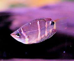 Gourami Species for Aquariums: Chocolate Gourami