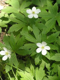 Anemone canadensis L. Canadian anemone, Round-leaf thimbleweed, Canada anemone, Windflower, Meadow anemone Ranunculaceae (Buttercup Family)