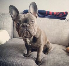 Frank, the French Bulldog.