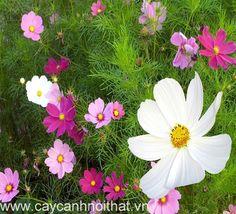Hoa cây cảnh cúc bướm đẹp, hấp thụ khí độc, là loại cây cảnh thích hợp trồng trong nhà