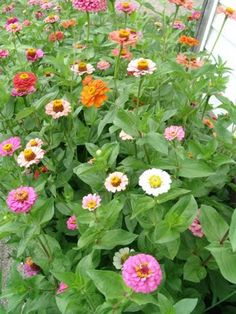 """our zinnia garden near the potager at Maple Valley Farm - Zinnias are my favorite """"cheap thrill"""" - they make me look like a master gardner"""