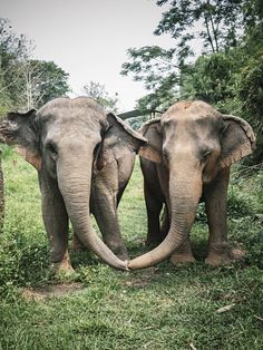 Ethical Elephant Riding in Thailand at Anantara Golden Triangle -