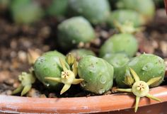 Duvalia parviflora