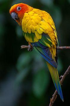 Sun Parakeet (zonparkiet)