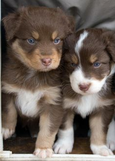 Pine Hill Aussies - Available