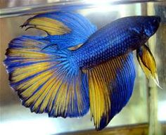 Rare Betta Fish Colors - Bing images