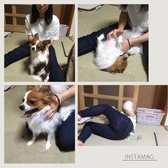 ・ 2016.8.16⛅️ ・ 昨日のこと。 長女の友達が来てくれました🏠 まなちゃん💁 ・ そして人が大好きなぽぽの歓迎っぷり🐶 飛びつく😨 チューの嵐💋 なでなでの要求😳 そして最後はまなちゃん倒しちゃった😱😱 ・ また来てね…😅あの、良かったら…😅 ・ #パピヨン#愛犬#ぽぽ#ぽぽは家族#全てのワンちゃんが幸せでありますように #papillon #dog #cute#cawaii#family #fun #love #happy #柔道なら一本#金メダル級#まなちゃんのお尻#ごめんよまなちゃん#これがぽぽのやり方だ〜