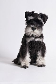 5 Most Affectionate Dog Breeds | The Pet's Planet/ miniature schnauzer.
