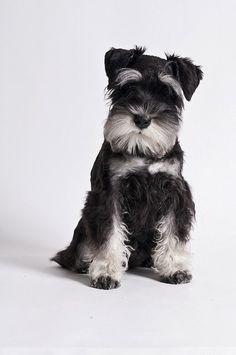 5 Most Affectionate Dog Breeds | The Pet's Planet/ miniature schnauzer.