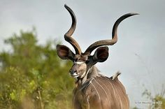 Greater Kudu  - Kruger National Park