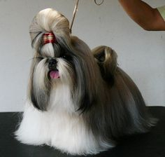 Shih Tzu-- ugh I wish Smudge would let us grow her out like this