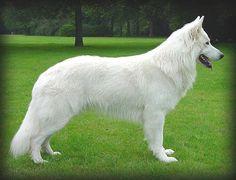 Hurricane Beau is door de Zwitserse Witte Herder Vereniging goedgekeurd als dekreu.