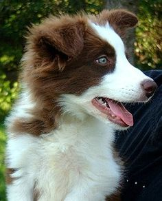 I need a red Border Collie. It is a necessity.