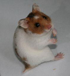 "Dominant Spot [golden dominant spot banded] - ARCHIV - Hamster ""Farb-Beratung"" - www.das-hamsterforum.de"
