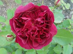 Rose from my garden. Darcey Bussell