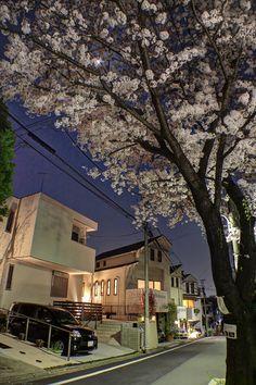 Street Cherry Blossoms Tokyo Japan