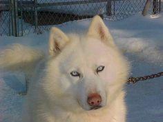 white siberian husky, dream dog! Siberian Husky Funny, White Siberian Husky, White Husky, Siberian Huskies, Husky Wolf Mix, Husky Puppy, Alaskan Malamute, Cute Dog Mixes, Husky