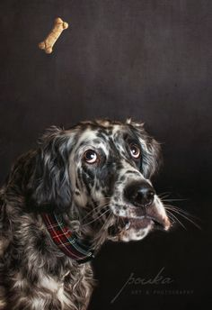 """Catch it!"" An English Setter trying to catch a thrown treat. Photograph by Pouka Fine Art Pet Photography."