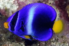 African Angelfish