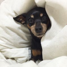 This reminds me of my dog his is named Peewee, my animal board with not be complete without my brother from another mother. But seriously such a cutie pie, they are so cute!  -min pin <3