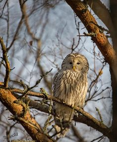 Ural owl and autumn