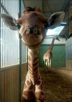 Giraffe smile ❁ ❁