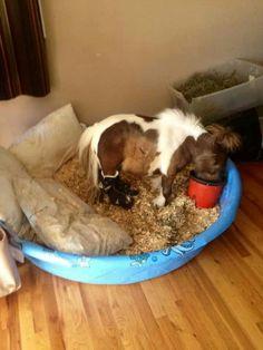 Roozer Brewz the mini horse