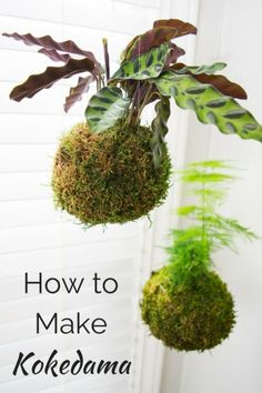 Kokedama or Japanese moss balls are easy to make and look amazing hanging in a bright window! Learn how to make your own in this handy tutorial. Kokedama or Japanes Moss Garden, Garden Art, Garden Plants, Porch Plants, Air Plants, Indoor Plants, Indoor Herbs, Cactus Plants, String Garden