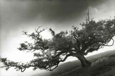 Tree,Peek Hill,Dartmoor,silver gelatin print