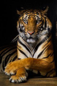 Tiger \\ Jassem...wow...