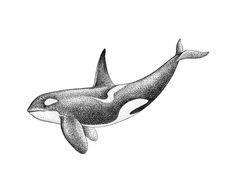 Orca by Marla Moon
