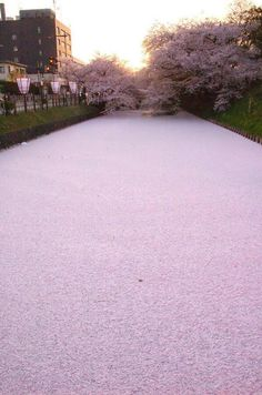 River in Japan filled with cherry blossom petals! Imagine the aroma!