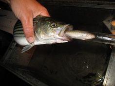 fish eating salmon #cawater #fish #salmon